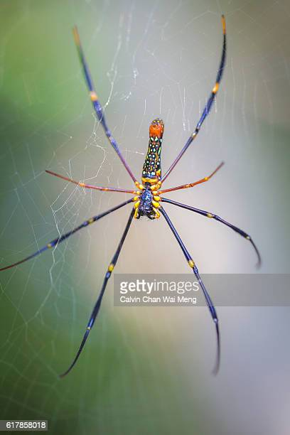 Close-up of a Golden Orb Spider
