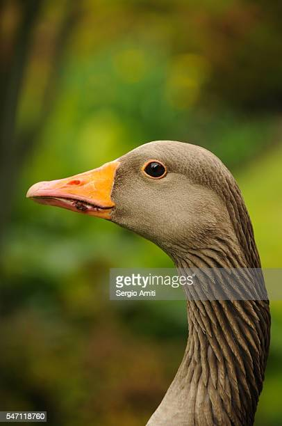 Close-up of a goose head