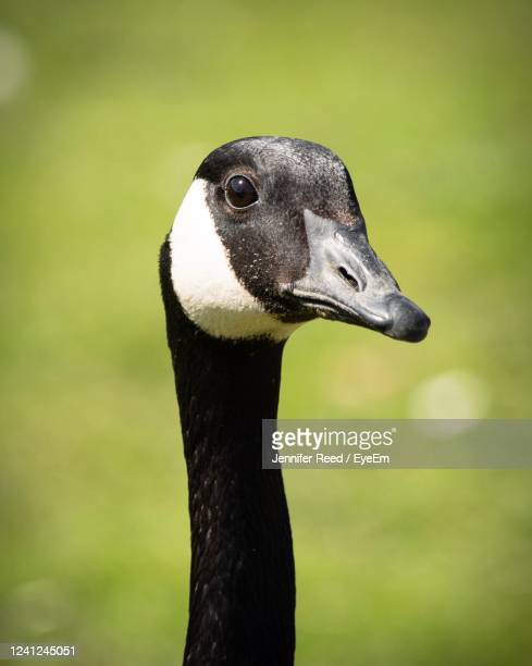 close-up of a goose - jennifer reed stock pictures, royalty-free photos & images