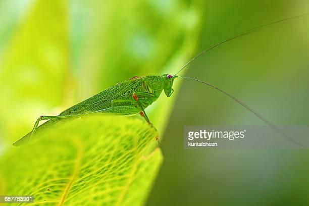 Close-up of a grasshopper, Indonesia