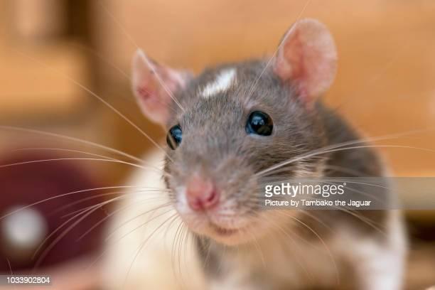 close-up of a gray and white rat - ratazana - fotografias e filmes do acervo