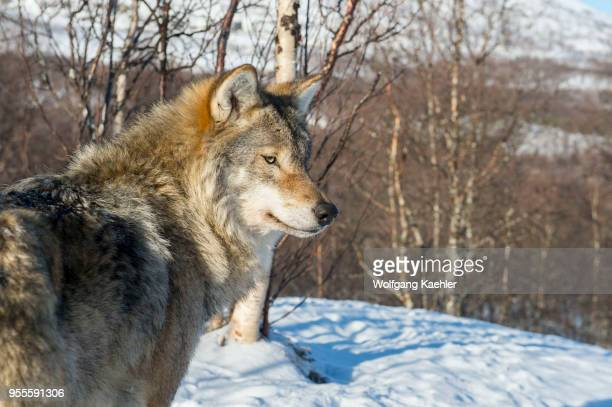 Closeup of a Gray wolf at a wildlife park in northern Norway