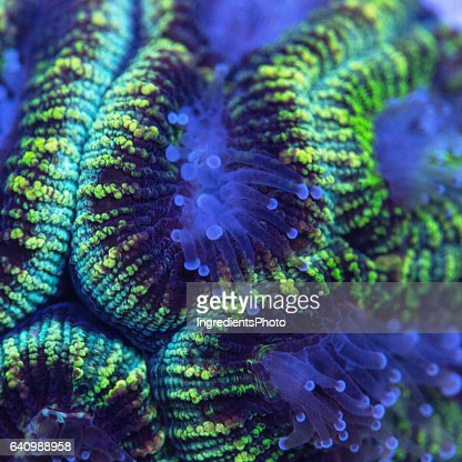 Closeup of a green Favia coral with extended polyps.