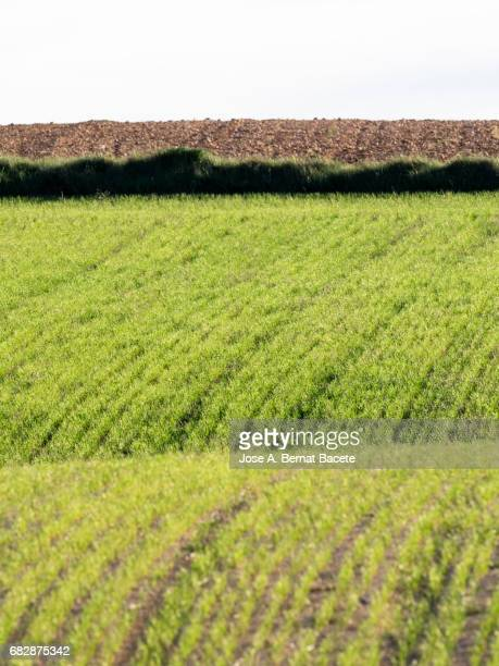 Close-up of a green field, with a plantation of green wheat in a wavy area