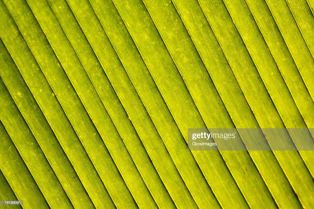 Close-up of a green leaf in a botanical garden, Hawaii Tropical Botanical Garden, Hilo, Big Island, Hawaii Islands, USA : Stock Photo