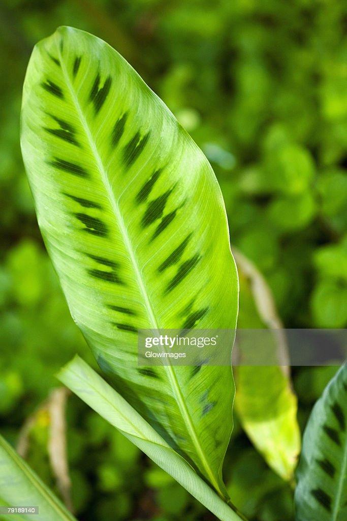 Close-up of a green leaf in a botanical garden, Hawaii Tropical Botanical Garden, Hilo, Big Island, Hawaii Islands, USA : Foto de stock