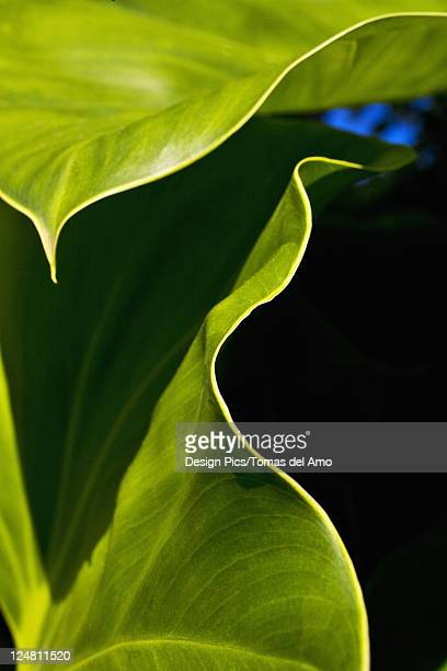 Close-up of a green leaves, edge of leaves contrasting against dark background.