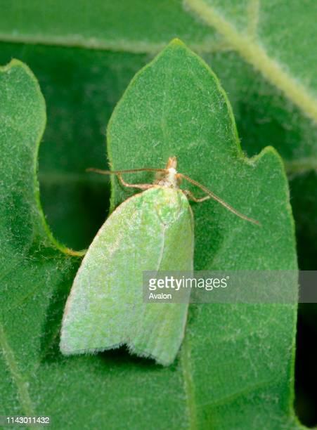 Closeup of a Green oak tortrix moth resting on an oak leaf in a dry meadow habitat in Croatia Europe