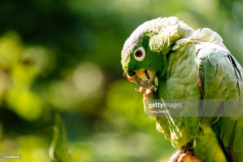 closeup of a green parrot in a bird park in north peru/ Tarapoto/ Peru/ South America : Foto stock