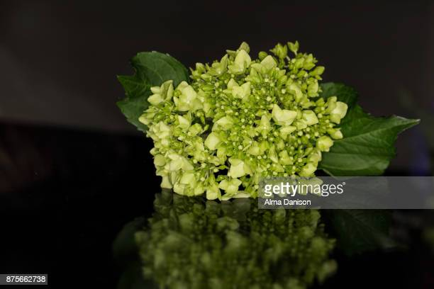 close-up of a green snowball viburnum - alma danison stock photos and pictures