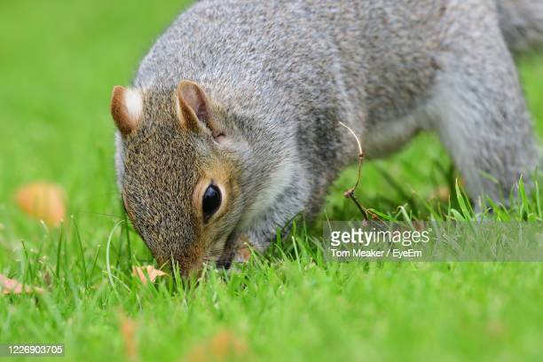 close-up of a grey squirrel digging - taunton somerset stock pictures, royalty-free photos & images