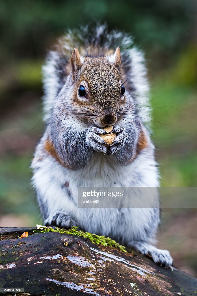 Close-up of a grey squirrel eating : Stock Photo