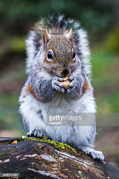 Close-up of a grey squirrel eating