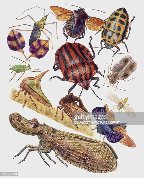 Closeup of a group of hemiptera insects