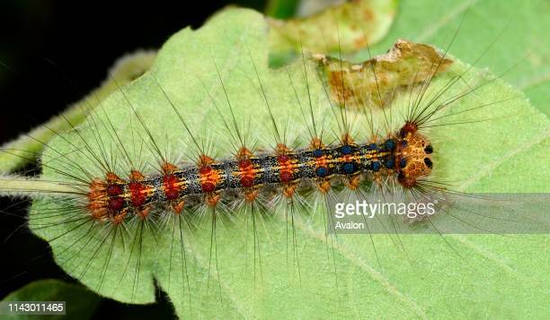 Closeup of a Gypsy moth larva on the underside of a leaf in a bushy habitat in Croatia Europe The lara is considered a pest in Europe
