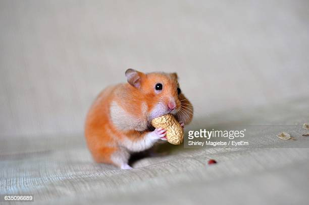 close-up of a hamster eating groundnut - hamster photos et images de collection