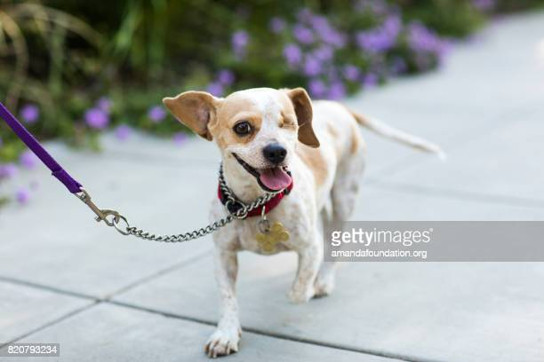 close-up of a happy beagle - the amanda collection - amandafoundationcollection stock pictures, royalty-free photos & images