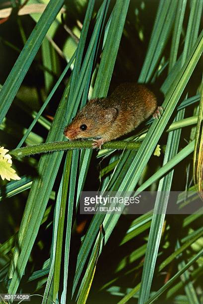Closeup of a Harvest mouse