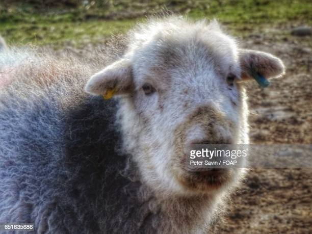 Close-up of a herdwick Sheep