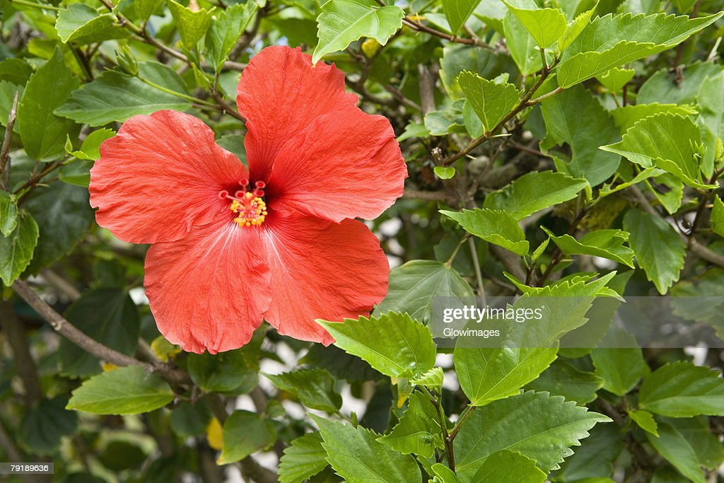 Close-up of a Hibiscus flower in a botanical garden, Hawaii Tropical Botanical Garden, Hilo, Big Island, Hawaii Islands, USA : Foto de stock