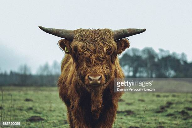 Close-Up Of A Highland Cattle