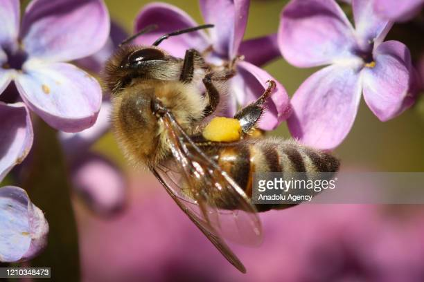 Close-up of a honeybee collecting pollens on a flower in Igdir, Turkey on April 18, 2020.