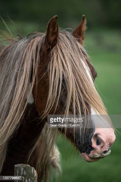 close-up of a horse - horsedrawn stock pictures, royalty-free photos & images