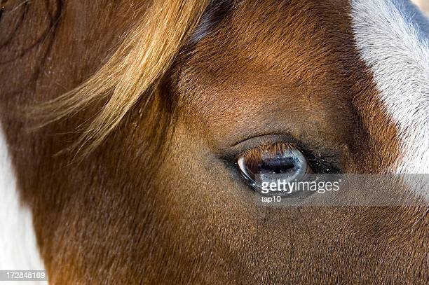 A close-up of a horse's brown eye