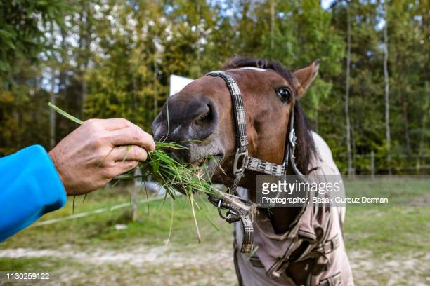 Close-up of a horse's head eating grass from a human's hand