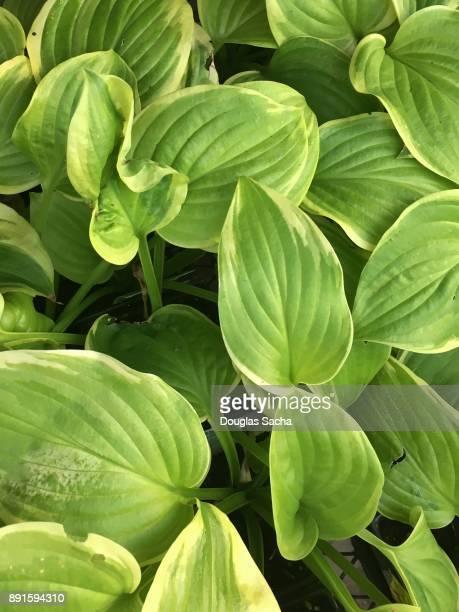 Close-up of a Hosta plant (Funkia)