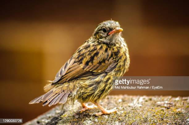 close-up of a house sparrow fledgling - young bird stock pictures, royalty-free photos & images