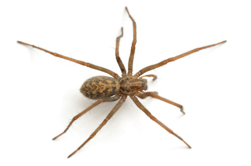Close-up of a house spider from above 183812283