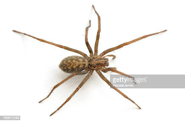 close-up of a house spider from above - spider stock pictures, royalty-free photos & images