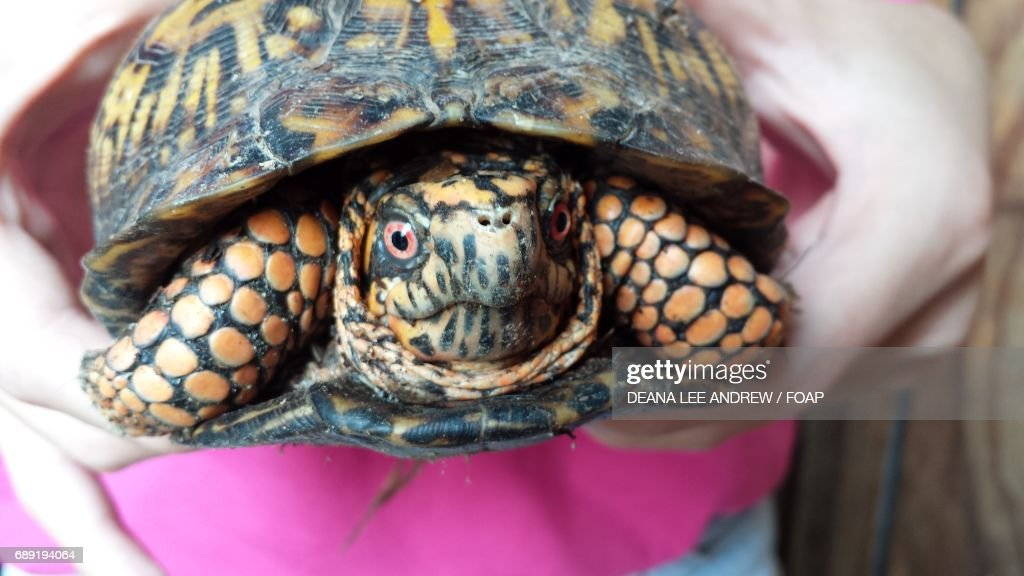Close-up of a human's hand holding turtle : Stock Photo