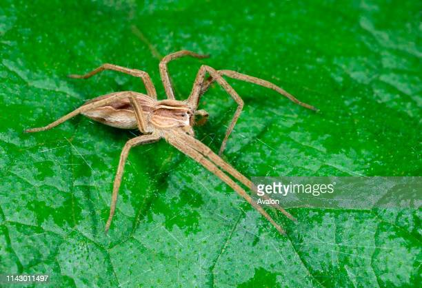 Closeup of a Hunting spider or Nursery web spider resting on a leaf in a woodland habitat in Croatia Europe