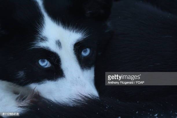 Close-up of a husky head