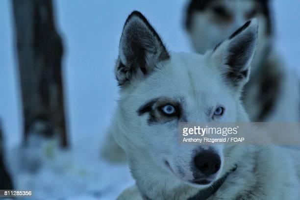 Close-up of a husky