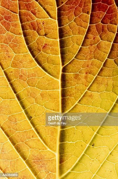 Close-up of a Hydrangea Leaf