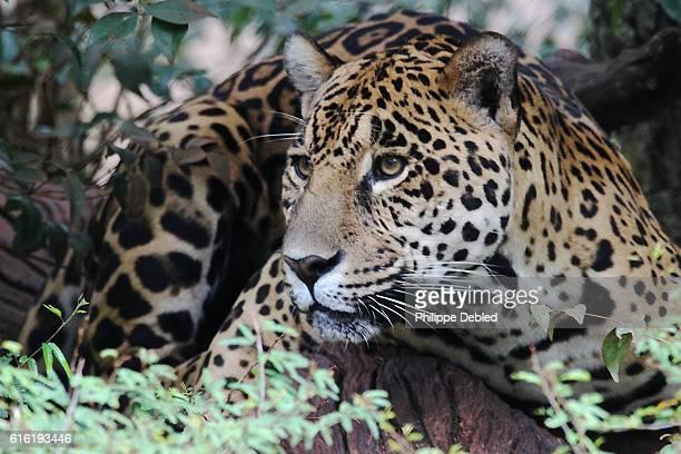 close-up of a jaguar, foz do iguaçu, paraná state, brazil - jaguar stock pictures, royalty-free photos & images