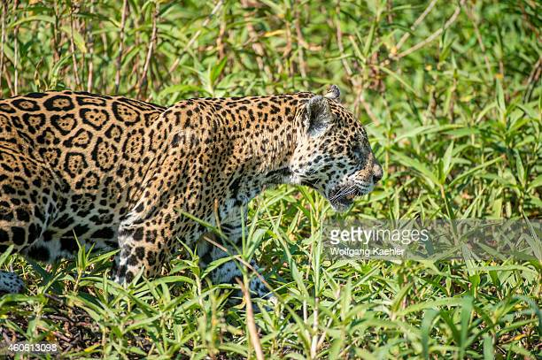 Close-up of a Jaguar is walking along a river bank at one of the tributaries of the Cuiaba River near Porto Jofre in the northern Pantanal, Mato...