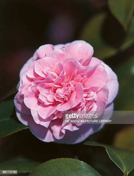 Closeup of a Japanese Camellia flower