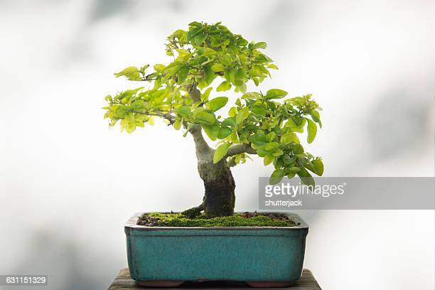 close-up of a japanese crab apple (malus sylvestris) bonsai tree - bonsai tree stock pictures, royalty-free photos & images