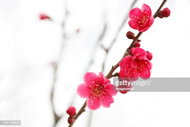 Close-up of a Japanese plum blossom against white background