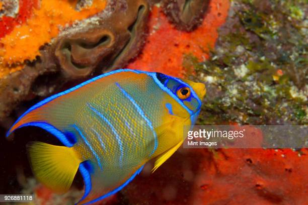 close-up of a juvenile queen angelfish on the seabed. - poisson de mer photos et images de collection