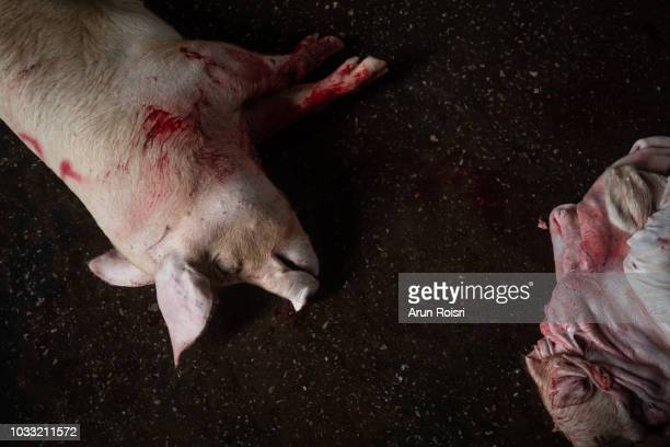 closeup of a killed bleed pig hanging at the slaughterhouse - bloody death stock pictures, royalty-free photos & images