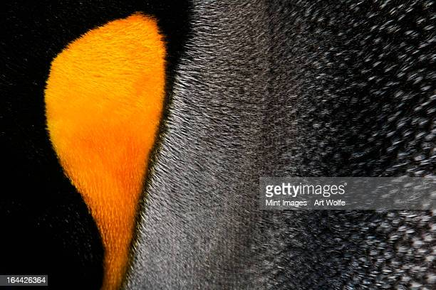 Close-up of a king penguin cheek, at a colony on South Georgia Island in the Falkland islands.
