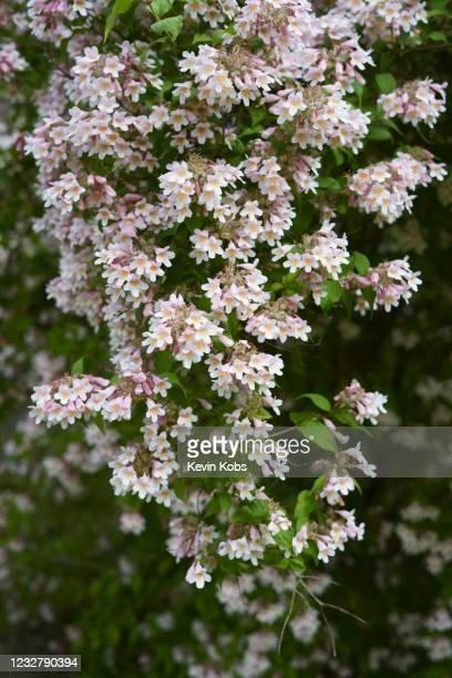 close-up of a kolkwitzia bush (kolkwitzia amabilis) with blur background in portrait format. - ornamental plant stock pictures, royalty-free photos & images