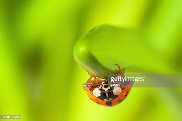 Close-up of a Ladybird