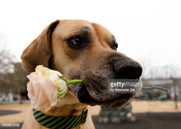 Closeup of a large breed great dane holding a single rose in its mouth for valentines day