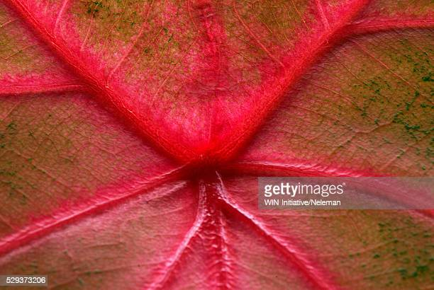 Close-up of a leaf of an ornamental plant